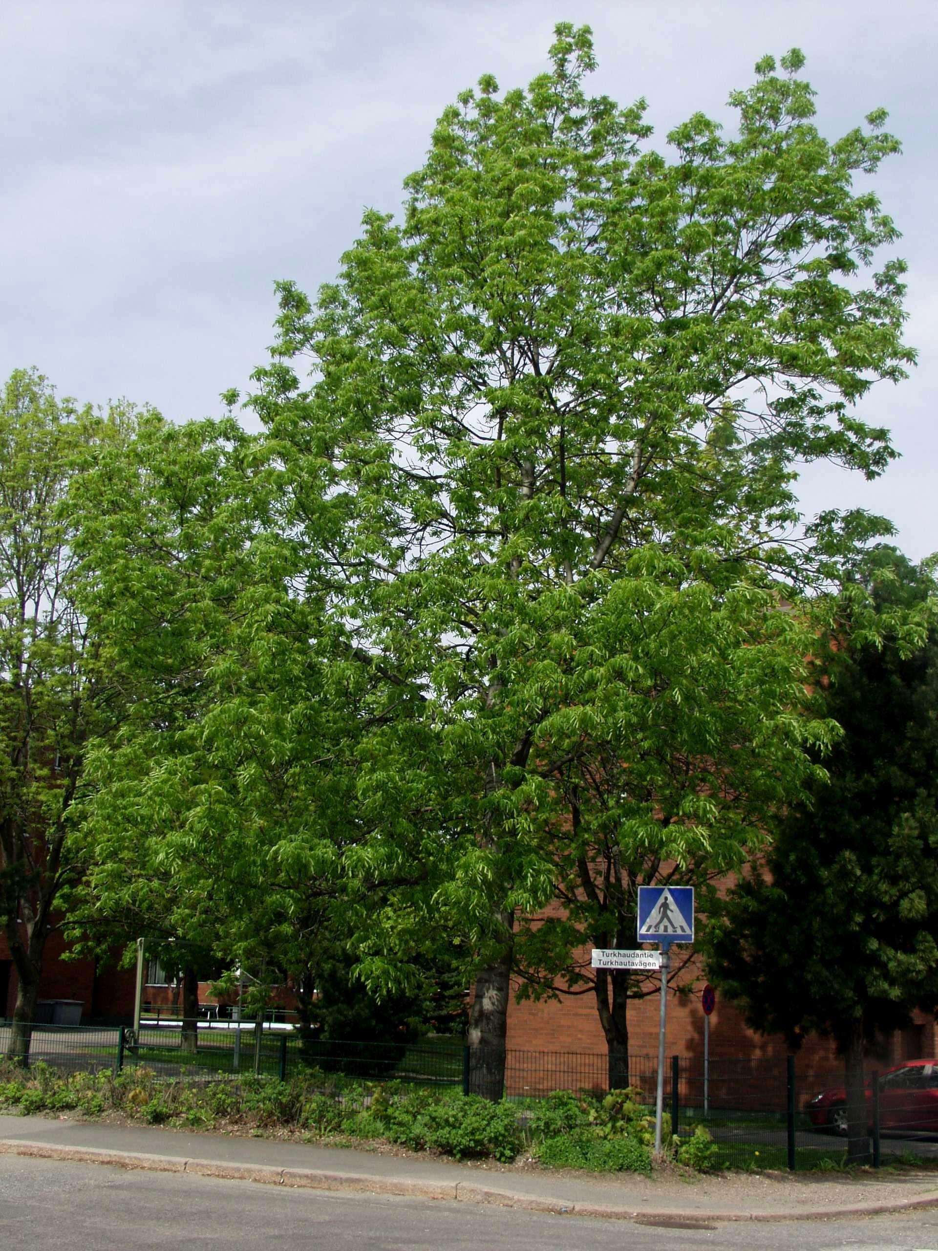 Saarni Puu