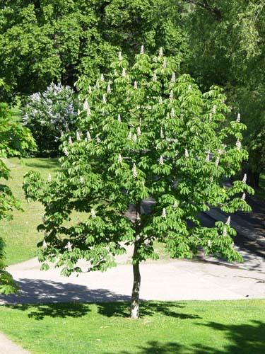 Hevoskastanja puu  Rengon Taimitarha Oy