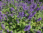 Mirrinminttu
