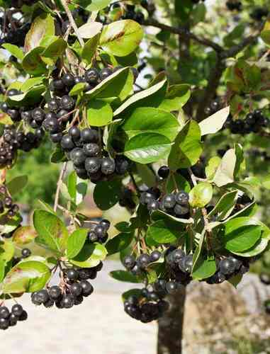 Koristearonia AT
