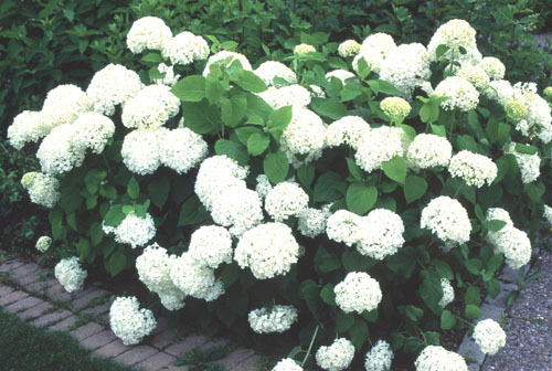Pallohortensia AT